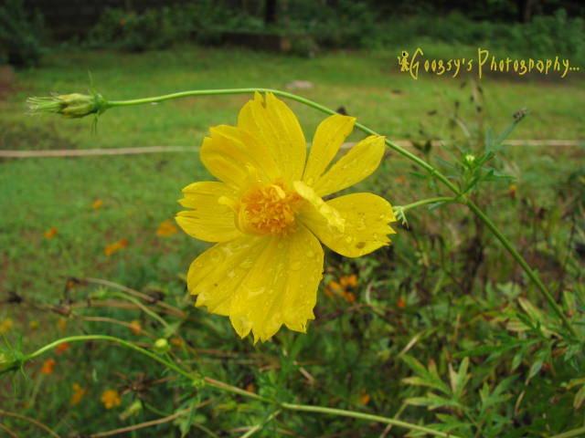 Flower googsy photography page 8 yellow chrysanthemum flower mightylinksfo
