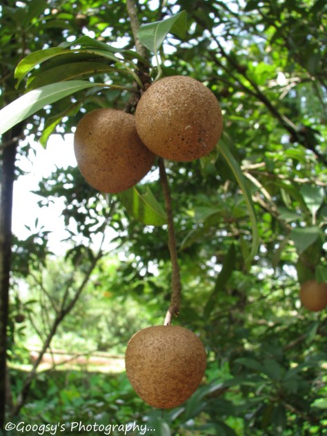 Sapota Plant & Fruit